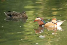 Free Mandarin Duck Drake Stock Photo - 17484490