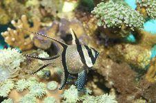 Free Banggai Cardinal Fish Royalty Free Stock Photography - 17484557