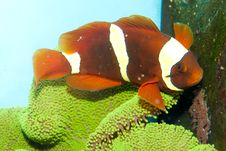Free Maroon Yellow Stripe Clownfish Pair Stock Images - 17484614