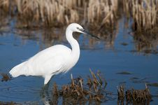 Free Little Egret Stock Images - 17484724