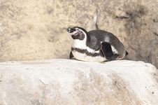 Free Humboldt Penguin Stock Image - 17484901