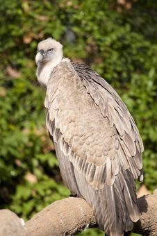 Free Griffon Vulture On A Branch Royalty Free Stock Images - 17485069