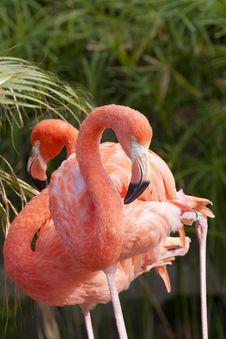 Free Chilean Flamingo Stock Photos - 17485113