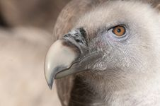 Free Griffon Vulture Portrait Royalty Free Stock Photos - 17485188
