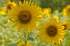 Free Sunflower. Royalty Free Stock Photography - 17485957