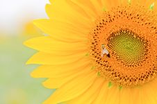 Free Sunflower Close-up. Royalty Free Stock Photo - 17485995