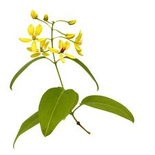 Free Branch Of Yellow Flowers Isolated Stock Photo - 17487030