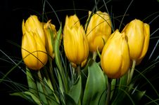 Free Yellow Tulips Stock Photos - 17487163