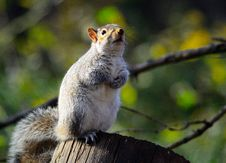 Free Eastern Gray Squirrel Royalty Free Stock Photos - 17487468