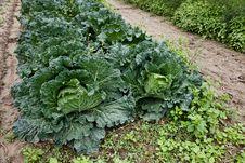 Free Cabbage Stock Photos - 17489753