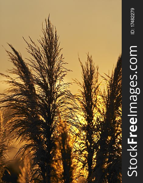 Pampas grass against the sunset
