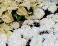 Free White Chrysanthemums Royalty Free Stock Photos - 17493758