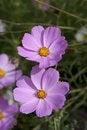 Free Cosmos Royalty Free Stock Photos - 17494278