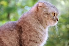 Free Lop-eared Cat Royalty Free Stock Images - 17490689