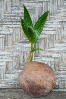 Free Coconut Sprout Stock Photography - 17490942