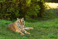 Free Siberian Tiger Royalty Free Stock Photography - 17491027