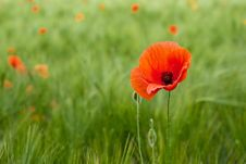 Free Red Poppy In The Field Royalty Free Stock Photos - 17491338