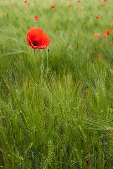 Free Red Poppy In The Field Stock Photo - 17491610