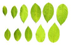 Free Set Of Green Leaves Over White Royalty Free Stock Photography - 17491677