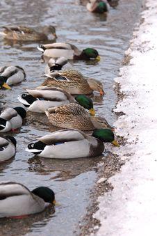 Free Ducks Eating At A Lake Border Royalty Free Stock Photo - 17491805