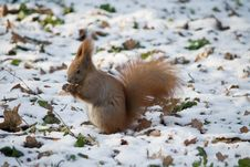 Free Red Squirrel Stock Images - 17493064