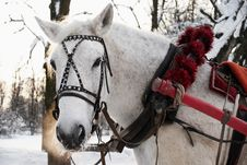 Free White Horse Is In A Beautiful Team Royalty Free Stock Photography - 17493127
