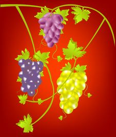 Free Grapevine On Red Background Stock Photo - 17493310