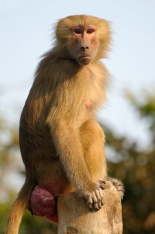 Free Hamadryas Baboon Portrait Royalty Free Stock Photos - 17493468