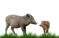 Free Wild Boar Royalty Free Stock Photo - 17494515