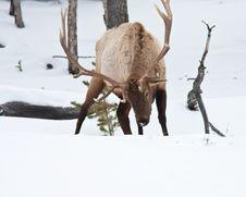 Free Bull Elk Royalty Free Stock Images - 17495069