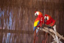 Free Two Macaw Parrots Royalty Free Stock Photos - 17495928