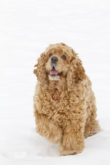 Free Red Spaniel Dog Royalty Free Stock Image - 17496236