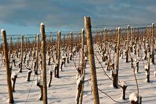 Free Vineyard At Winter Royalty Free Stock Image - 17496486