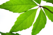 Free Green Leafs Royalty Free Stock Photography - 17499017
