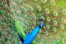 Free Gorgeous Peacock Stock Image - 17499061