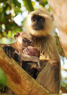 Free Family Bond In Primates Royalty Free Stock Photos - 17499108