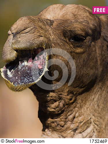 Free Camel Lips Royalty Free Stock Images - 1752469