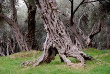 Free Olive Tree 2 Royalty Free Stock Image - 1750786