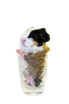Baby Guinea Pig In The Glass Stock Photo