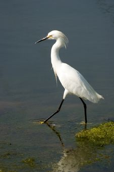 Free Egret Walking Royalty Free Stock Photography - 1752747