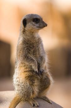 Free Meerkat Royalty Free Stock Photography - 1752817