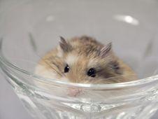 Free A Hamster Macro Stock Photo - 1754660