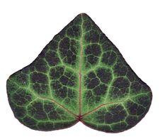 Free Ivy Stock Image - 1755521