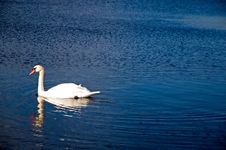 Free White Swan On A Blue Pond Stock Photos - 1757783