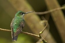 Free White-throated Mountain-Gem Hummingbird Stock Photo - 17500950