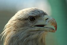 Free Golden Eagle Stock Images - 17502894