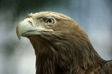 Free Golden Eagle Royalty Free Stock Photo - 17502895