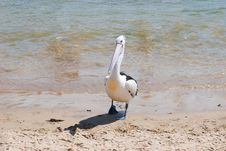 Free Lone Pelican On Beach Shore Royalty Free Stock Photos - 17503468
