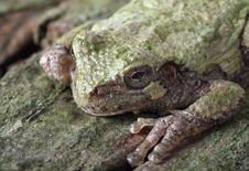 Free Eastern Gray Treefrog, Hyla Versicolor Royalty Free Stock Photo - 17503795