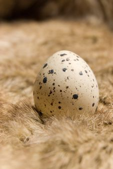 Free Quail Egg Royalty Free Stock Photos - 17504598